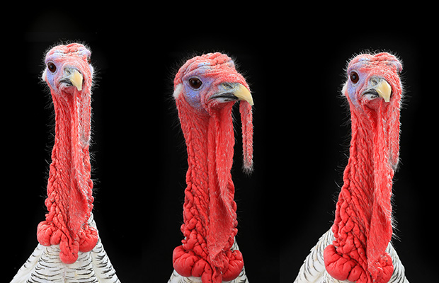 Run-off: The turkeys who voted for Christmas